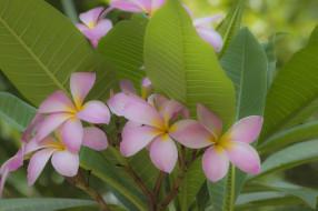 тропики, макро, цветение, плюмерия