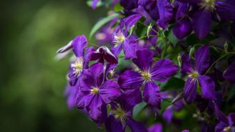 цветы, клематис , ломонос, клематис, цветение