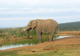 животное, большой, слон