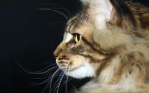 животные, коты, анфас