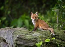 животные, лисы, камень, улыбка, лиса, лисёнок