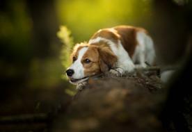 животные, собаки, порода, шерсть, животное, окрас, собака