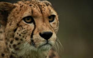 животные, гепарды, профиль