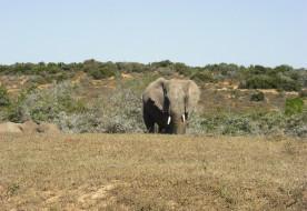 большой, слон, животное