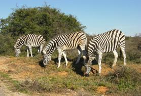 пара, кусты, дикая природа, зелень, африка, растительность, зебра, две, кения, парнокопытные