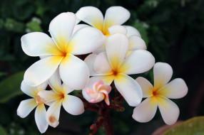 листья, цветы, цветение, плюмерия