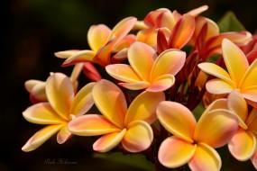 flowering, ветка, цветение, Plumeria petals, leaves, branch, листья, Плюмерия, лепестки