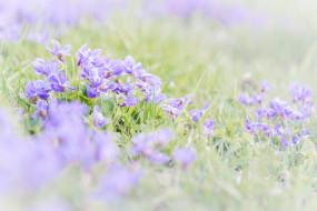 фиалка, трава, кустики, весна
