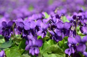 макро, фиалки, природа, цветы, весна
