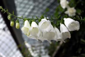 цветы, дигиталис , наперстянка, колокольчики, белый