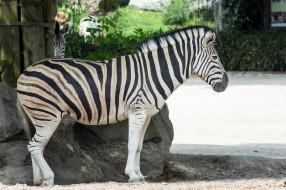 зебра, полоски, животное, черно-белый