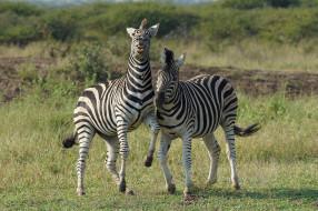 зебра, пара, черно-белый, полоски