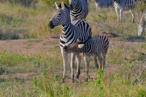 полосатики, малыш, мама, трава, природа, зебра