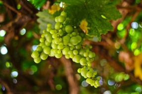 природа, Ягоды,  виноград, лоза