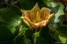 цветы, тюльпановое дерево , лириодендрон, жёлтый