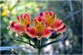 цветы, альстромерия, боке