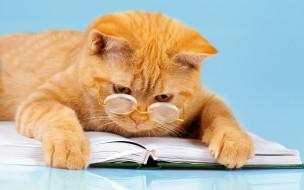 юмор, читает, лежит, лапы, книга, рыжий, фон, кот, очки, умный
