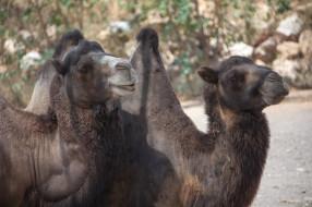 верблюд, пара, животные