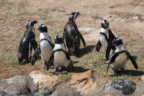 пингвины, стая, много