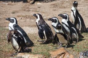 стая, забавные, пингвины