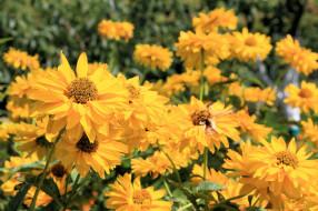 кусты, цветение, лепестки, желтый, цветы, лето
