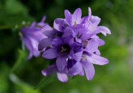 макро, цветы полевые, лето, флора, растения, колокольчик