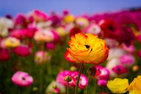 цветок, оранжево-красный, цветение, макро