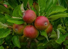 обои для рабочего стола 2048x1490 природа, плоды, яблоки