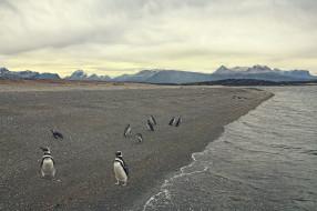 птицы, пляж, море, берег, пингвины