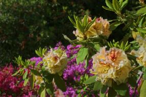 обои для рабочего стола 2048x1364 цветы, рододендроны , азалии, листья, рододендрон, куст, азалия
