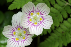 цветы, пара
