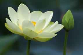 цветы, лотосы, жёлтый