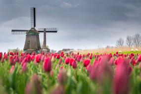 цветы, поле, мельница, весна, тюльпаны, Нидерланды
