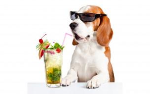 юмор и приколы, очки, лапы, пробка, бассет-хаунд, стекло, коктейль, белый, фон, юмор, напиток, лица, стол