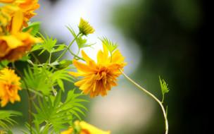 цветы, желтые, рудбекия, золотые шары, макро