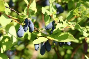 природа, плоды, дальний, восток, дача, жимолость, июнь, лето, сад, хабаровск, ягоды