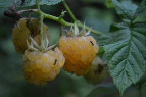природа, Ягоды, белая, ягода, малина, куст, макро, листья