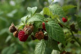 природа, Ягоды, август, дача, лето, малина, нфд, сад, ягоды