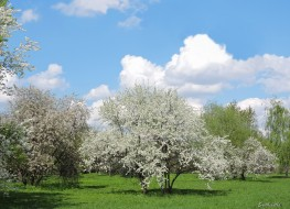 коломенское, красота, весна, вишня, деревья, фото, цветение, яблоня, парк, пейзаж