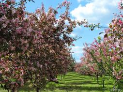 фото, сад, май, коломенский парк, яблоня, цветы, красота, весна, цветение