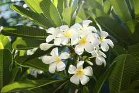 путешествие, вьетнам, муйне, тропические цветы, франжипани, цветы вьетнама, плюмерия, цветы