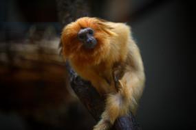 животные, обезьяны, золотой, лангур, зоопарк, мартышка, примат