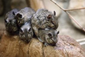 животные, крысы,  мыши, весна, зоопарк, мыши