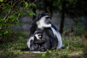 животные, обезьяны, зоопарк, колобус, обезьяна
