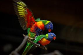животные, попугаи, зоопарк, краски, птицы, спаривание