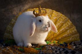 животные, кролики,  зайцы, корона, кролик, веер, животное