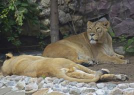 животные, львы, москва, лев, лето, кошка, июль, зоопарк, хищник, город
