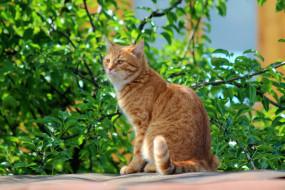 животные, коты, лето, природа, рыжий, кот, степан, стёпка, кошки, дача