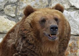 животные, медведи, хищник, портрет, москва, медведь, лето, июль, зоопарк, город