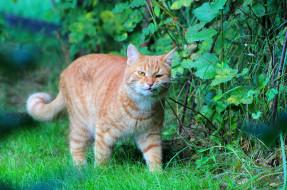 животные, коты, рыжий, кот, природа, лето, кошки, дача, стёпка, степан